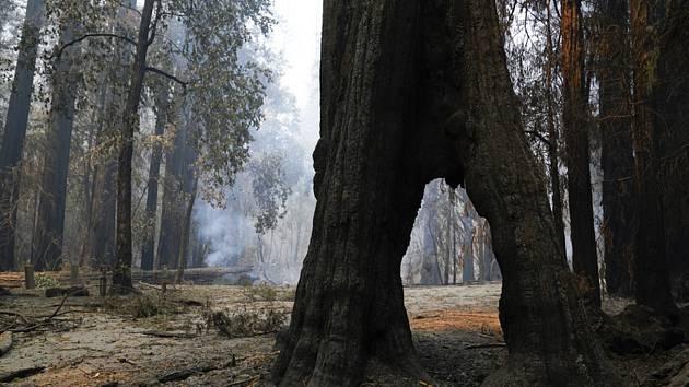 Sekvoje během požáru v kalifornském přírodním park Big Basin