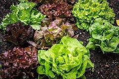 Saláty můžeme vysít i v létě