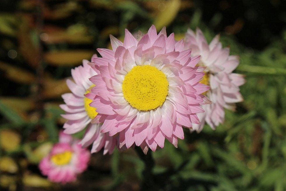 Smilek růžový (Helipterum roseum)