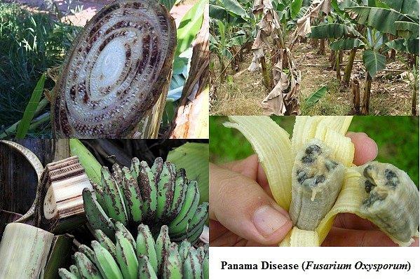 Banány nakažené tzv. panamskou nemocí.