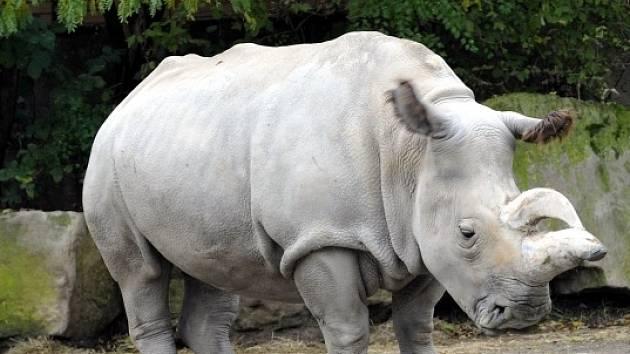 Nosorožec bílý. Ilustrační foto.
