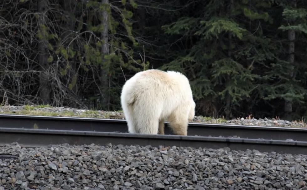 Bílý grizzly byl zpozorován i na jiných místech Národního parku Banff