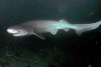 Žralok šedý. Ilustrační fotografie