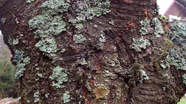 parazit na stromech