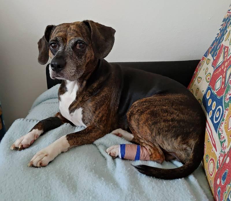 Bella. Naše velká bojovnice. Po ochrnutí zadních končetin podstoupila operaci páteře s minimální šancí, že bude znovu chodit. Nakonec překvapila všechny doktory. Sice už nikdy nebude chodit na 100%, ale to jí radost neubírá.