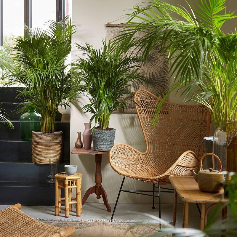Areková plama má ráda teplo a vlhkost. Navíc rostlina dokáže ze vzduchu odstranit chemické toxiny.