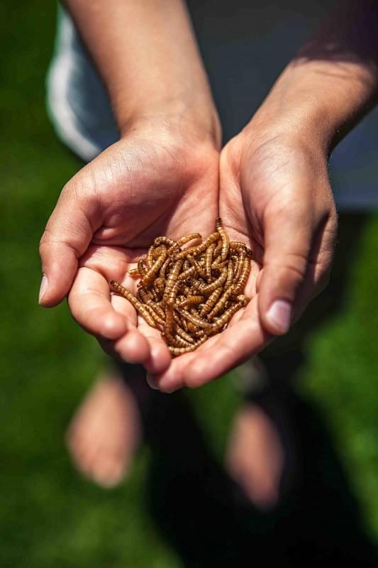 Hmyz je potravou budoucnosti