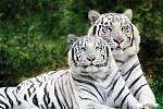 Liberecká ZOO se může chlubit také vzácnými bílými tygry.