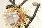 Kaktus rodu Cereus na historickém vyobrazení v Plantae selectae, Norimberk 1750-1773