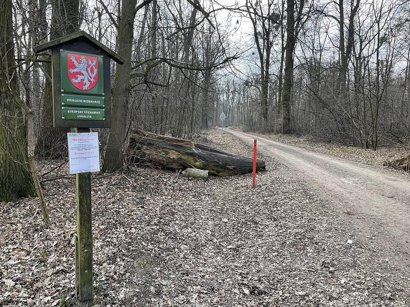 Medvědí česnek v lesích přírodní rezervace Království na Olomoucku