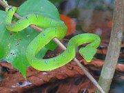 Tato prudce jedovatá zmije dokáže na svou kořist číhat na jednom místě i měsíc.