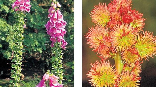 POZOR NA NĚ. Náprstníky (vlevo) se na zahradách vyjímají. V ježatých plodech skočce jsou smrtelně jedovatá semena obsahující ricin.