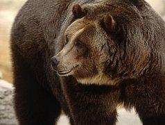 Když dostane medvěd hlad, jen tak se odbýt nenechá. Ilustrační foto.