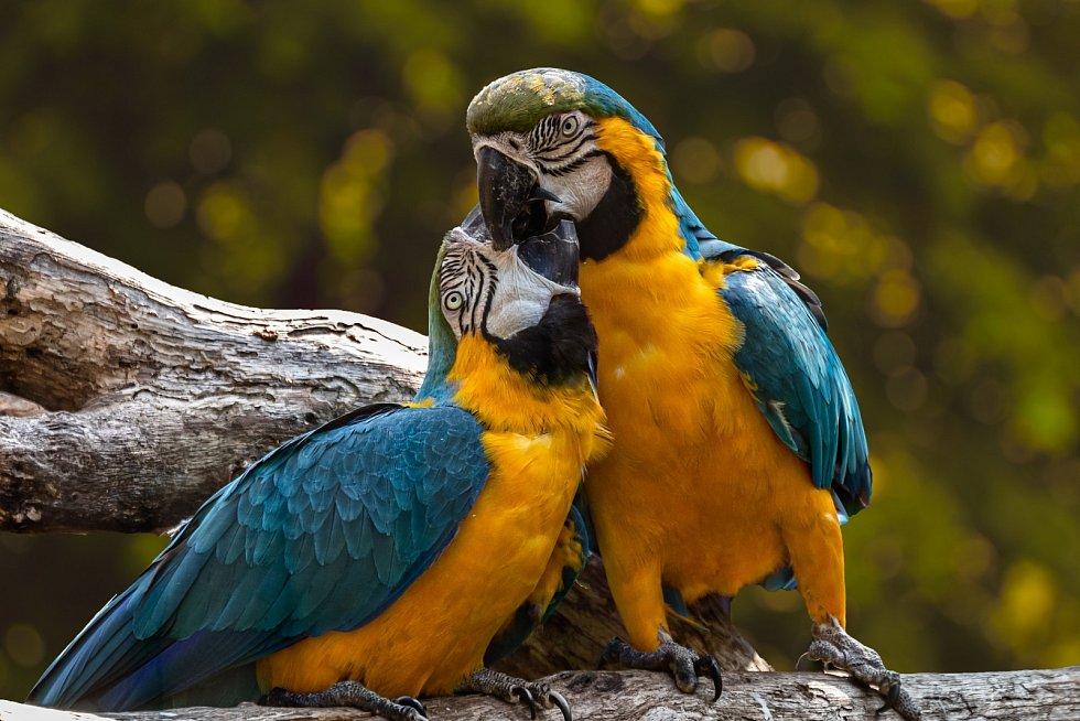 Pár papoušků.