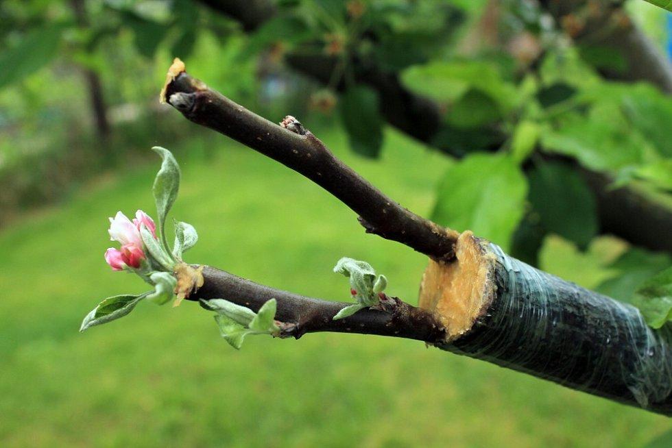 Máte-li zahradu sovocnými stromy, můžete si díky roubování rozmnožit nebo posílit konkrétní odrůdu, aniž byste museli sázet nový strom.