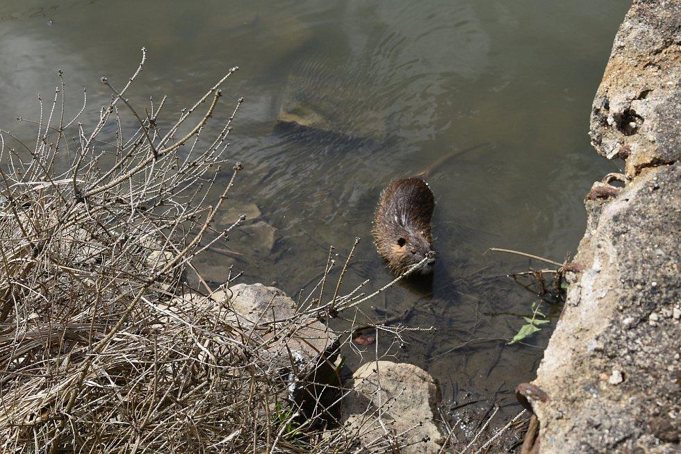 Řeku v úseku u Želenic. obývají i nutrie.