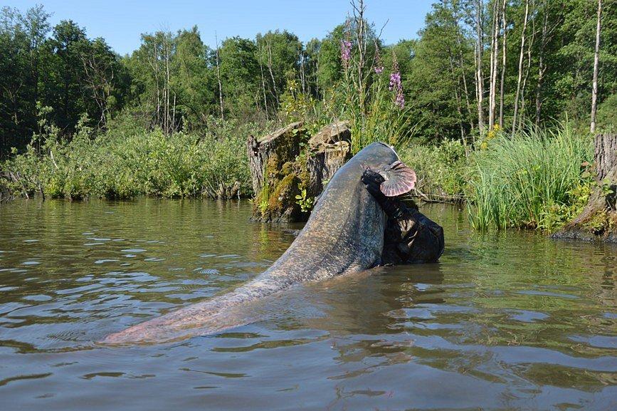 Rybník Sumčák, v němž žije přes dvě stě sumců