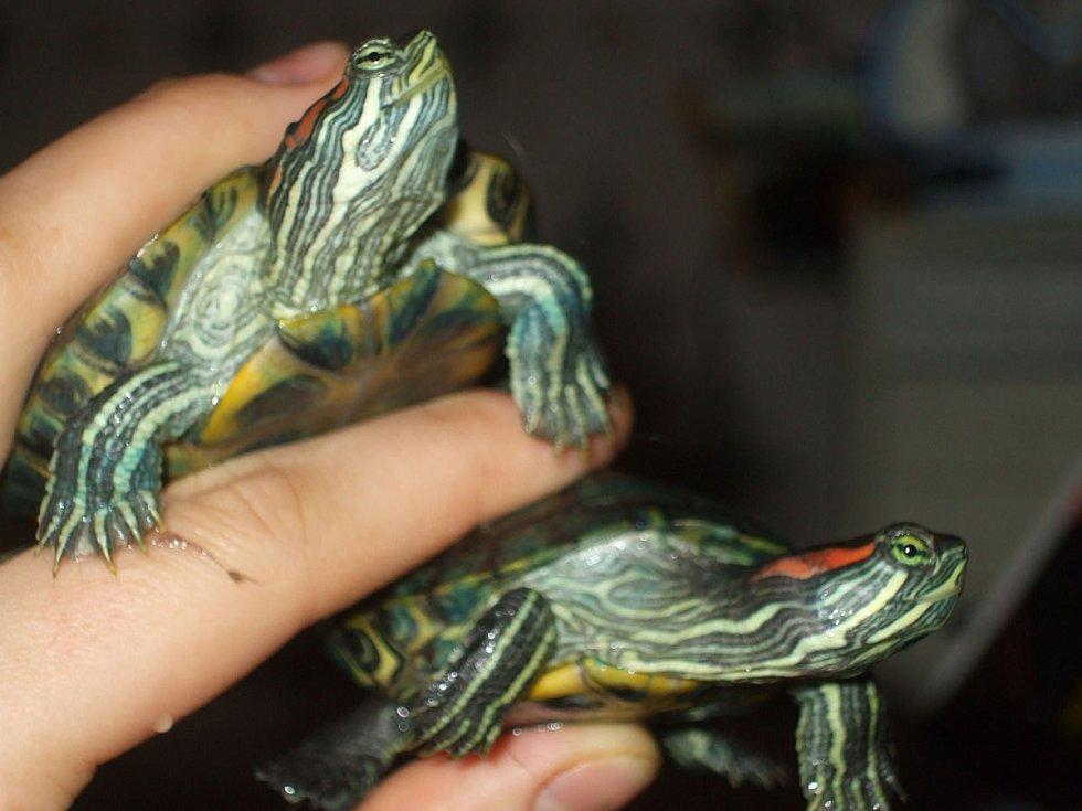 Mláďata želvy nádherné