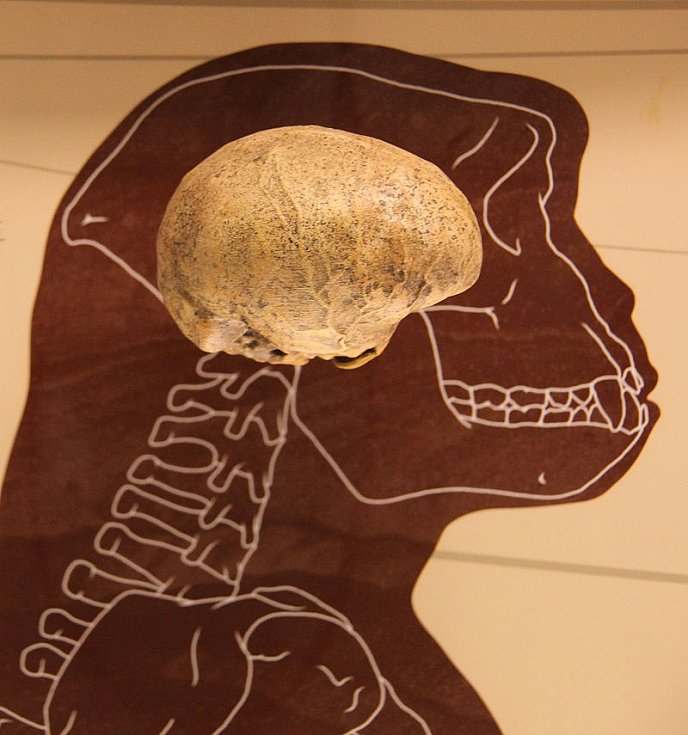 Mozek rodu Sahelanthropus
