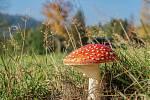 Jedna z našich nejkrásnějších hub: muchomůrka červená.