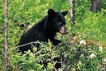 BARIBAL. Nedaleko kempu jsem nachytal malého černého medvěda, jak u lesa ožírá z keříků bobule mýdelníku. Druhý den jsme ho potkali v jahodišti.