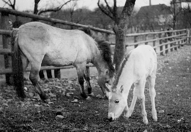 Kůň Převalského, který se stal jedním ze symbolů Zoo Praha, na snímku dvojice Minka a Heluš