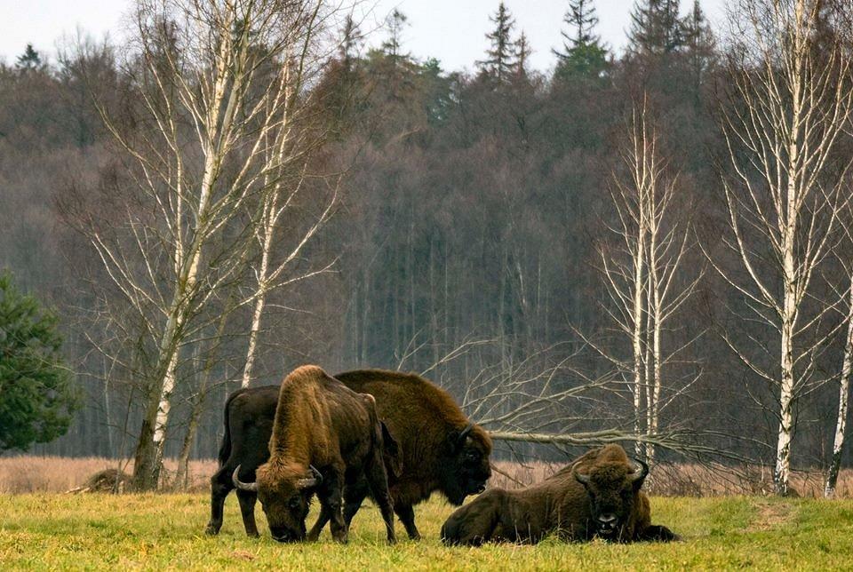 Zbytky původního evropského pralesa, domov Zubra evropského.