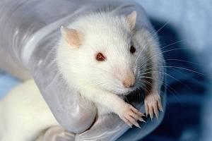 Laboratorní myš - Ilustrační foto