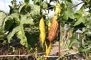 Rostlina zvaná lufa je ideální k jídlu i k mytí