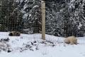 Záběry zachycující vzácného bílého grizzlyho ve společnosti jeho hnědého sourozence