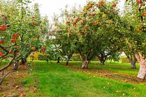 Chcete si dopřát jablka, meruňky nebo švestky z vlastního sadu? Pak byste si měli důkladně promyslet, jaké druhy a odrůdy ovocných stromů pro podzimní výsadbu zvolíte.