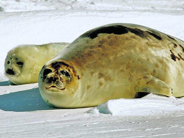 Pokud tulení mládě musí příliš brzy do vody, umírá chladem.