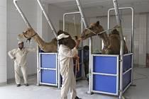 V Saudské Arábii byl poprvé zjištěn koronavirus MERS u velblouda.