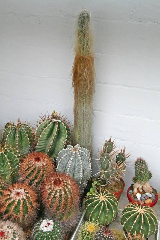 """Dědek –kaktus, který kdysi věnoval svému synovi do sbírky otec Pavla Líznara. Dostal ho v70.letech vbrněnské botanické zahradě, když tam pracoval jako řemeslník. """"Je třikrát seříznutý, jinak by měl tři metry."""""""