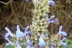 Chia semínka pochází ze šalvěje hispánské.