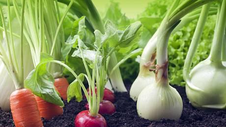 Záhon plný zeleniny. Mrkev, ředkvička a cibule.