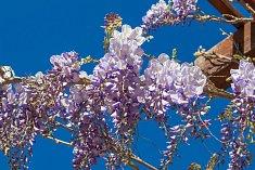 Kvetoucí vistárie