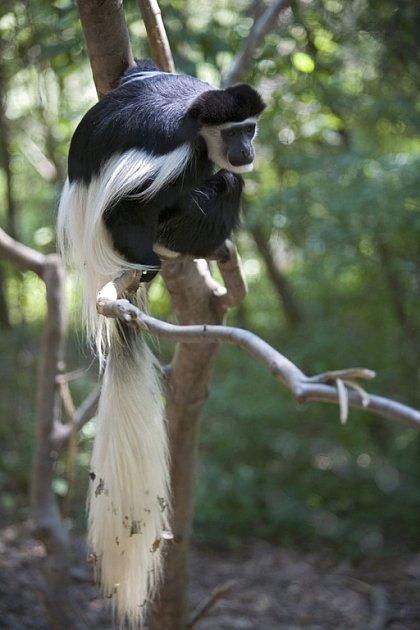 Menší primáti, jako například tato guaréza pláštíková, spotřebují při šplhání ve větvích stromů stejně energie, jako kdyby běhali po zemi. Na stromech se ale cítí bezpečněji a najdou si tam i více potravy.