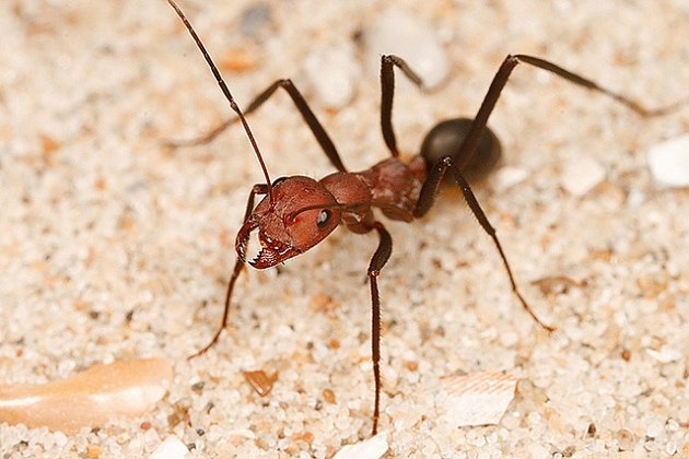 Červený mravenec je hrozbou pro celou Austrálii