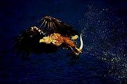 Orel mořský chytá makrelu. Snímek pochází z norské oblasti Flatenger.