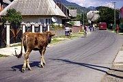 Koločava, krávy všude