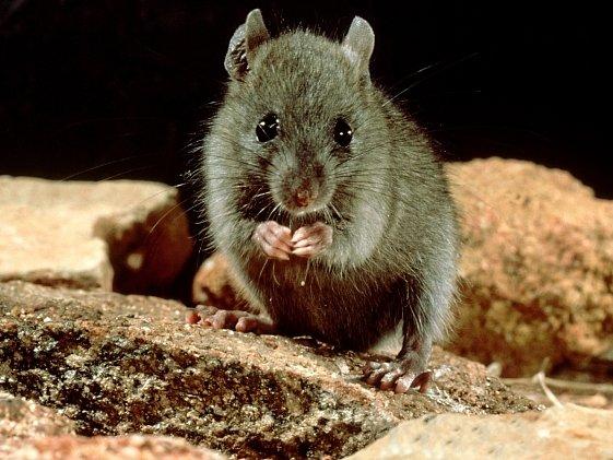 Krysa obecná je častým nositelem různých nemocí.