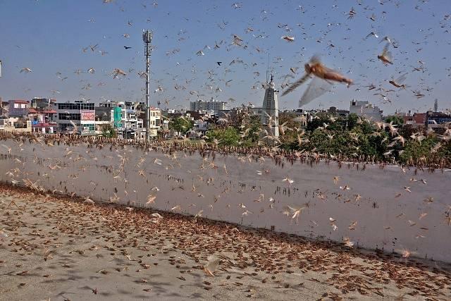 Obří invaze sarančat v Indii. Lidé se jich bojí více než koronaviru.