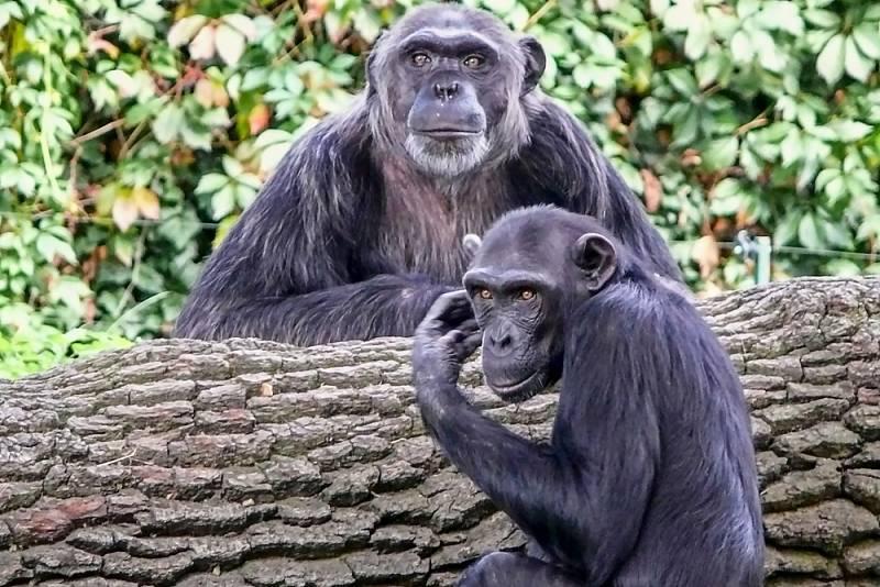 Šimpanzi. Ilustrační snímek