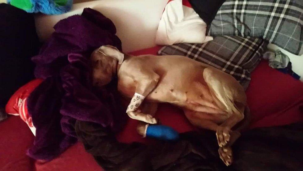 Naše Meggie po operaci packy ve které měla ošklivě zapíchlí drát.