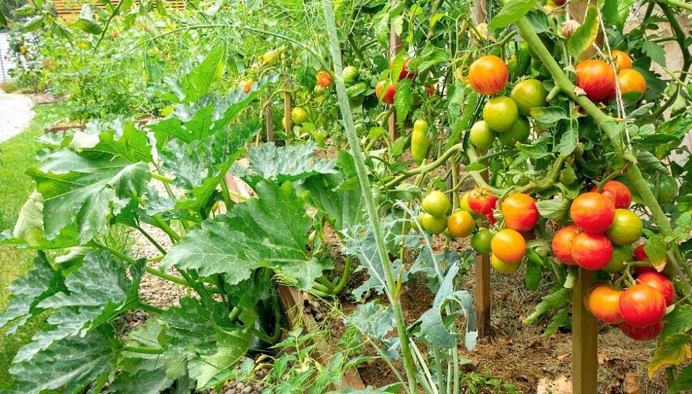 Rajčata patří mezi rostliny s velkou spotřebou živin, v další sezoně na záhonek po něm vysázejte například hrách, fazole, mrkev, rané brambory nebo červenou řepu.