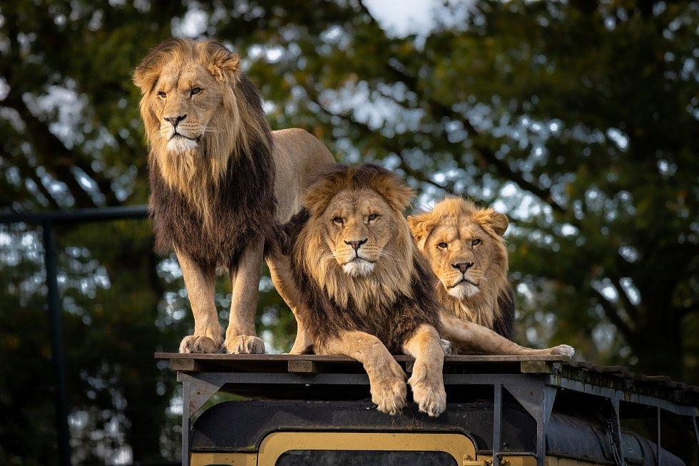 Pro úspěšný lov je koordinace skupiny velmi důležitá. Lvi na vytvoření dokonalého souladu pohybů zřejmě používají i zívání.