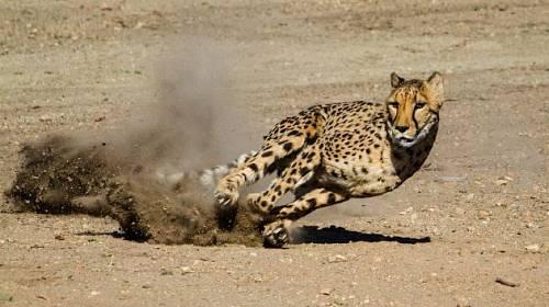 Gepard-nejrychlejší lovec.