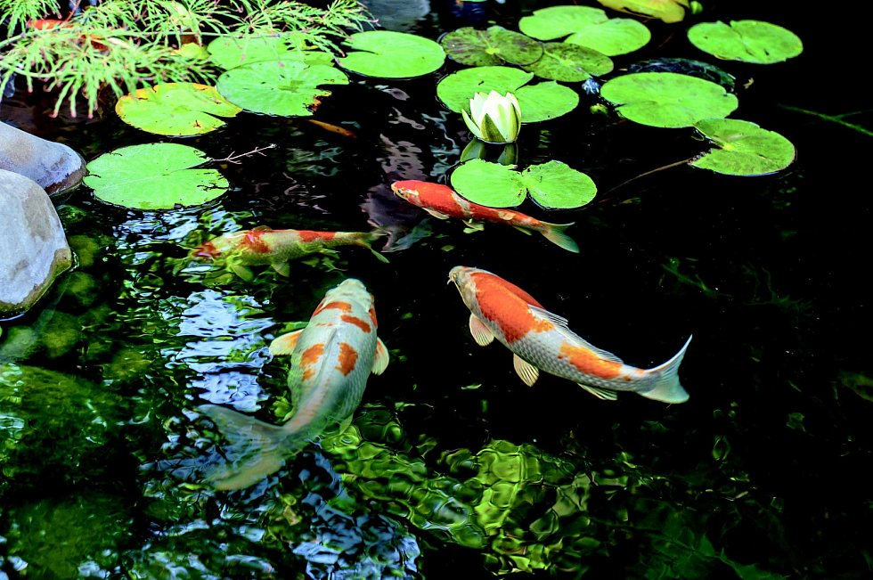 Okrasné rybky pro jezírko
