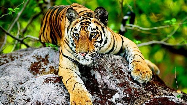 Mladý sedmnáctiměsíční tygr bengálský se povaluje na kameni. Čistokrevní zástupci několika tygřích druhů přežívají v umělých chovech.